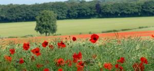 Poppy Field, Coombe Bissett