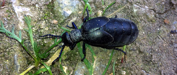 Oil Beetle
