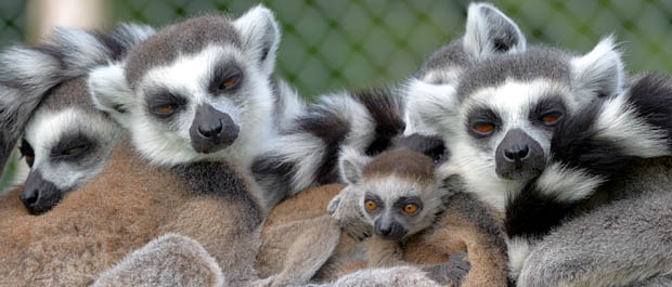 Casper the Baby Ring Tailed Lemur. Photo: Dave Townend