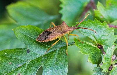 Box Bug