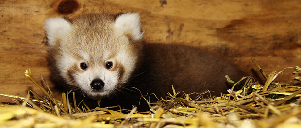 Red Panda Baby at Longleat four. Photo by Ian Turner