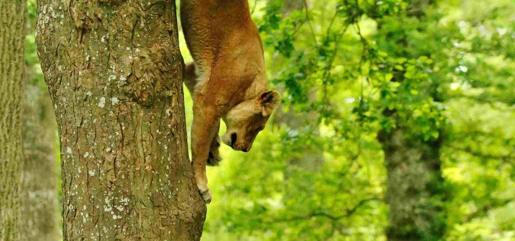 Lioness Kiana making her way back down the tree